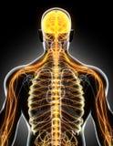 système nerveux de mâle de l'illustration 3D illustration stock