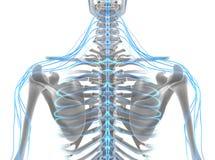 système nerveux de mâle de l'illustration 3D Photographie stock libre de droits