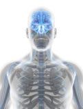 système nerveux de mâle de l'illustration 3D Images libres de droits