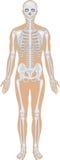 Système squelettique sur le blanc illustration de vecteur