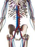 Système vasculaire Photos stock