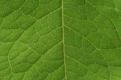 Système vasculaire de feuille verte Photos libres de droits