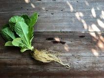 Systèmes de culture hydroponique ; Cos Romaine Lettuce organique sur la table en bois avec la lumière naturelle images stock