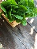 Systèmes de culture hydroponique ; Cos Romaine Lettuce organique sur la table en bois avec la lumière naturelle photos libres de droits