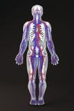 System för skelett- avsnitt för människokropp cirkulations- Arkivfoton