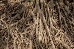 Systemet av det stora trädet rotar Royaltyfria Bilder