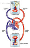 Systemic and pulmonary circulations. Diagram of the heart showing the systemic (body) circulation and the pulmonary (lungs) circulation Royalty Free Stock Photos