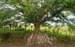 systemu masywny korzeniowy drzewo Fotografia Stock