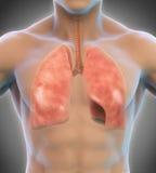 système respiratoire d'illustration humaine digitale Photographie stock libre de droits