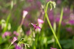 Systoechus candidulus på rosa blommor Arkivfoton