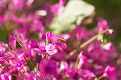 Systoechus candidulus på rosa blommor Arkivbilder