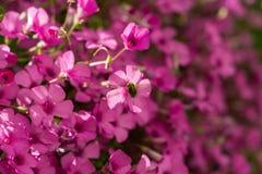 Systoechus candidulus på rosa blommor Royaltyfria Foton