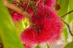 Syzgium Malaccense苹果树的开花 库存图片