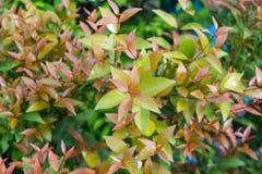 Syzygium το νότιο κόκκινο φύλλο για το φυσικό υπόβαθρο, αυστραλιανά αυξήθηκε Apple, κεράσι βουρτσών Στοκ φωτογραφία με δικαίωμα ελεύθερης χρήσης