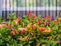Syzygium australe Στοκ Φωτογραφίες