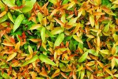 Syzygium australe tree Stock Photos