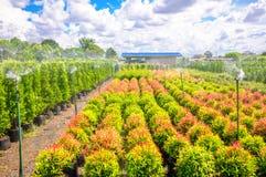 Syzygium campanulatum or christina Royalty Free Stock Image