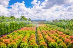 Syzygium campanulatum or christina Royalty Free Stock Photos