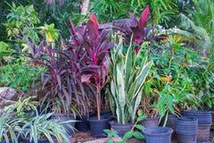 Syzygium campanulatum. Plant in park Royalty Free Stock Photos
