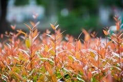 Syzygium campanulatum. Plant in park Stock Image