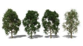 Syzygium grande (Four Seasons) Στοκ φωτογραφία με δικαίωμα ελεύθερης χρήσης