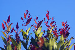 Syzygium hancei. Its new leaves are red, and very beautiful Stock Images