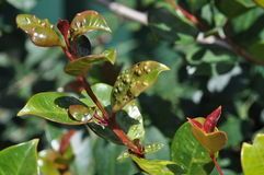Syzygium leaf infected with psyllid eggs Royalty Free Stock Image