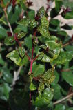 Syzygium leaf with psyllid Stock Images