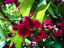 Syzygium malaccense. In close up at the morning stock photography