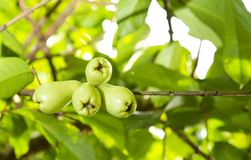 Syzygium malaccense - Malay rose apple stock photo
