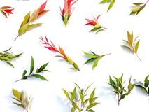 Syzygium oleina leaf pattern is isolated on a white background stock photography