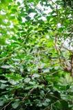 Syzygium plant with fruits Stock Photos
