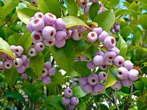 Free Syzygium Smithii (Lilly Pilly) Stock Images - 71063624