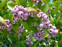 Syzygium smithii (Lilly Pilly) Stock Images