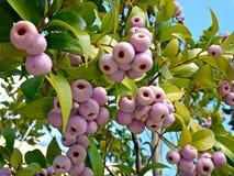 Syzygiumsmithii (Lilly Pilly) Arkivbild
