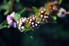 Szałwii officinalis menchii pączki i zieleń liście na trzonie, ciemny miękki bokeh tło, zakończenie w górę makro- zdjęcia stock