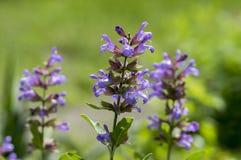 Szałwii officinalis wiecznozielony healhty półkrzew w kwiacie, fiołkowa purpurowa kwiatonośna pożytecznie roślina Fotografia Royalty Free