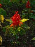 Szałwia kwiat Fotografia Stock