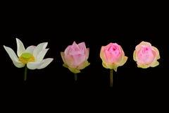 Szablon piękny lotosowy kwiat odizolowywający Zdjęcie Royalty Free