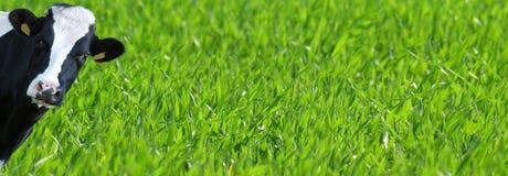 Szablon zielony gazon z krową Obrazy Stock