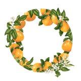 Szablonu dekoracyjny wektorowy element z cytrus owoc w okręgu fotografia stock