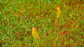 Szafranowi Finches w 'Ākulikuli Sesuvium Portulacastrum Fotografia Royalty Free