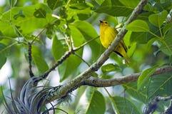 Szafranowy finch, Brazylijski piosenkarza ptak Zdjęcia Stock