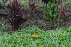 Szafranowy finch na Dużej wyspie Hawaje zdjęcie royalty free