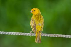 Szafranowy Finch od Guayaquil, Ekwador fotografia stock