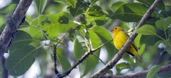 Szafranowy finch ptak umieszczający na gałąź Zdjęcie Stock