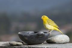 Szafranowy Finch Sicalis flaveola dostrzegający outdoors w dzikim fotografia stock