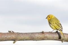 Szafranowy Finch Sicalis flaveola dostrzegający outdoors w dzikim obraz royalty free