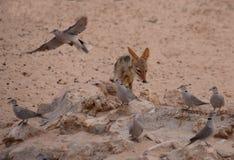 Szakal i gołąbki przy waterhole w Auob rzecznym łóżku, Kgalagadi Transfrontier park narodowy, Południowa Afryka Obrazy Stock