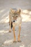 Szakal w Tozeur zoo zdjęcie royalty free